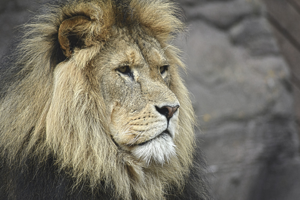 Dream Interpretation Lion
