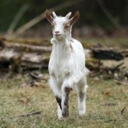 Missing goat en route to Manchester